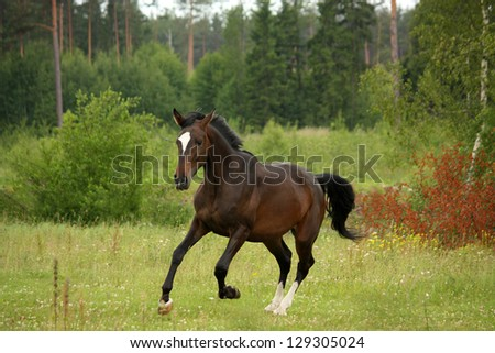 Brown latvian horse galloping free at the field in summer