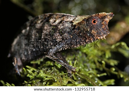 Brown Leaf Chameleon (Brookesia superciliaris) in rain forest of Madagascar (Ranomafana). These dwarf chameleons are the smallest species in the world.  Leaves, branch, forest, foliage, tree, rain.