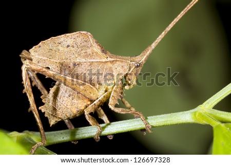 Brown leaf mimic katydid in the rainforest understory, Ecuador - stock photo