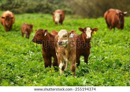 Brown Limousin cow standing in a green field  - stock photo