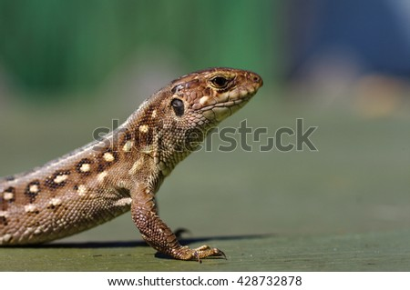 Brown lizard Lacerta agilis.