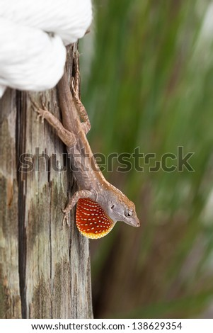 Brown Lizard on Post - stock photo