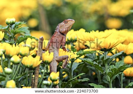 Brown lizard , tree lizard , details of lizard skin bar on chrysanthemum - stock photo