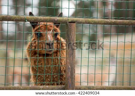 brown llama behind the fence, head - stock photo
