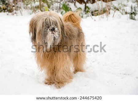 Brown long haired tibetan terrier dog standing in the snow. - stock photo