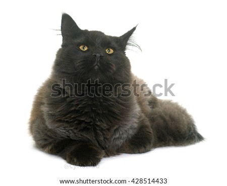 brown maine coon in front of white background