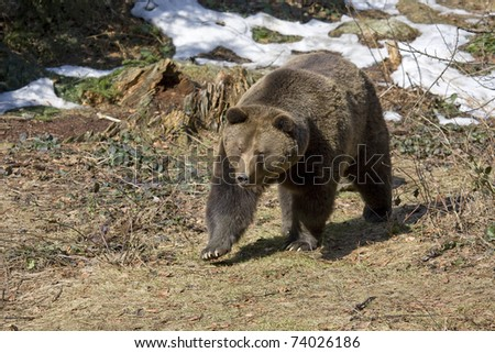 brown male bear is hunting