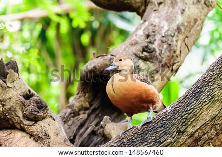 Brown mallard perching on tree branch - stock photo