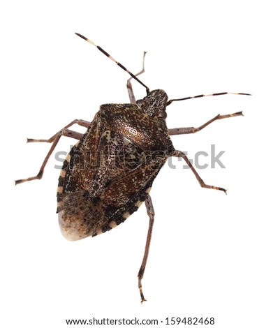 Brown Marmorated Stink Bug isolated on white background, with clipping path (Halyomorpha halys) - stock photo