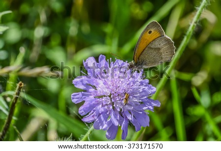 Brown meadow butterfly on wildflower  Macro photography of a lovely Maniola jurtina butterfly, commonly known as the meadow brown, while devouring the nectar from a summer purple wildflower. - stock photo