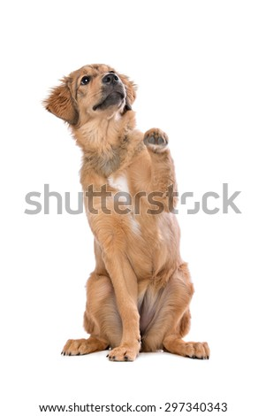 brown mixed breed puppy in front of a white background
