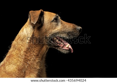 Brown mixed breed wired hair dog portrait in dark studio