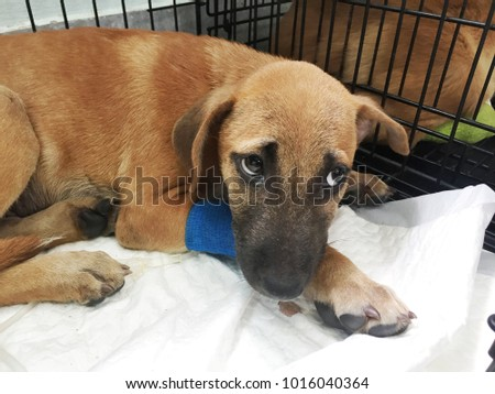 Brown Mongrel Dog Get Sick With Diarrhea And Vomit Who Admit In Animal  Hospital For Veterinary