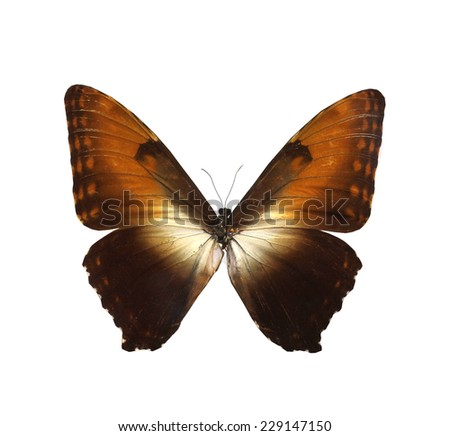 brown morpho   butterfly isolated, set of realistic amazing tropical butterflies and alive bug , zoology,wild ,entomology, beautiful wing collection ,insect animal stuff icon