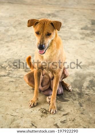 Brown motherhood dog  - stock photo