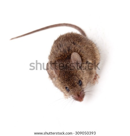 Brown mouse isolated on white