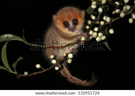 Brown Mouse Lemur (Microcebus rufus) in a rain forest in Madagascar (Ranomafana). Mouse Lemurs are the world's smallest primates. Extremely cute & adorable with huge eyes holding onto twig & berries.