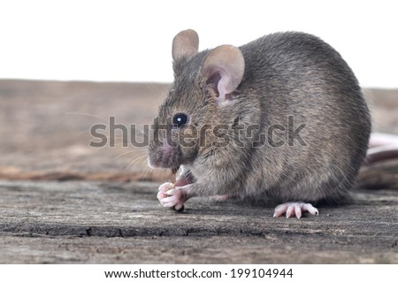 Brown mouse on wooden table isolated on white background