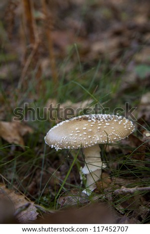 Brown mushroom with white spots closeup for background use