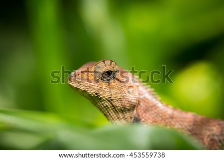 Brown native lizard or chameleon on the grass. - stock photo