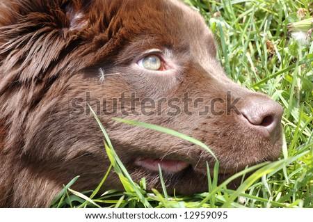 Brown Newfoundland puppy - stock photo