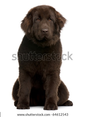 Brown Newfoundland puppy, 10 months old, sitting in front of white background - stock photo