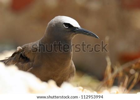brown noddy - stock photo