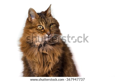 brown on white angora cat