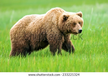 brown or grizzly bear grazing in lake clark alaska meadow - stock photo