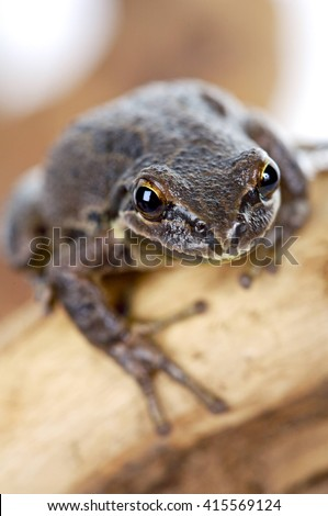 Brown Oregon Tree Frog sitting on branch, vertical