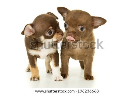 brown pair of dogs chihuahua puppies - stock photo
