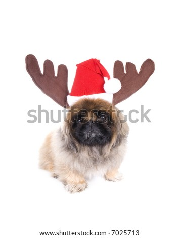 Brown Pekingese dog dressed for Christmas in red and white hat with reindeer antlers isolated on white