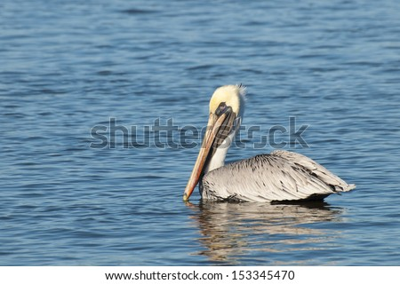 Brown pelican at the Chokoloskee Island.