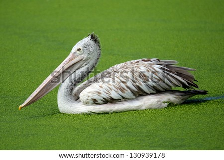 Brown pelican/Brown pelican In natural marshes. - stock photo