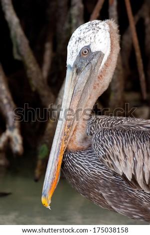 Brown pelican (close-up of head), Galapagos Islands, Ecuador - stock photo