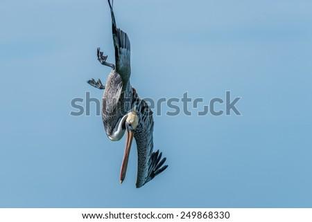 Brown Pelican Diving/Fishing near Naples, Florida 4 - stock photo