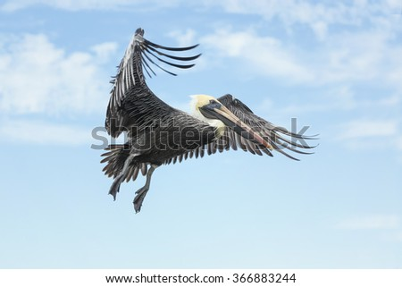 Brown Pelican flying against the blue sky. Cape Coral. Florida - stock photo