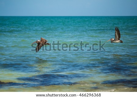 Brown Pelican gliding atop the ocean water, on Bahia Honda, Florida. State bird of Louisiana. State Park.