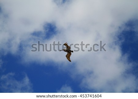 Brown Pelican Gliding over Beach at Tulum, Mexico - stock photo