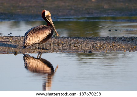 Brown Pelican in breeding plumage at dawn on Florida's Gulf Coast - stock photo