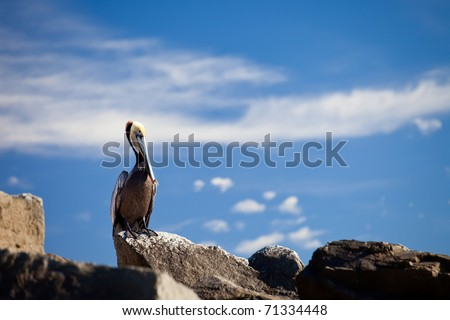 Brown Pelican in Cabo San Lucas, Mexico - stock photo
