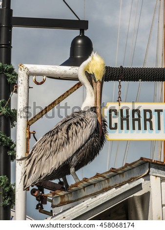 Brown Pelican - Keys Islands - stock photo