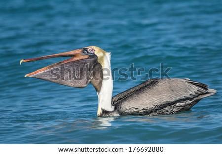 Brown Pelican, Pelecanus occidentalis - stock photo