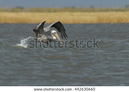 Brown pelican (Pelecanus occidentalis) flying above gulf of mexico, Bolivar peninsula, Texas, USA - stock photo