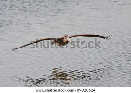 Brown Pelican, Pelecanus occidentalis, gliding over water - stock photo