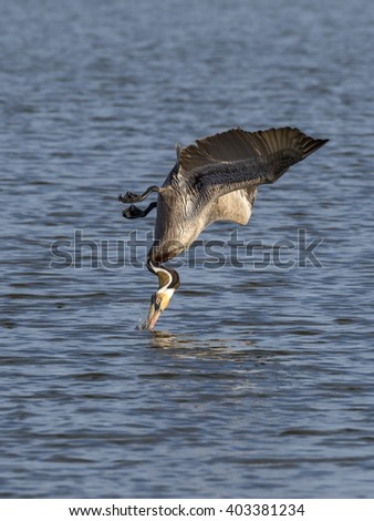Brown pelican (Pelecanus occidentalis) hunting, Galveston, Texas, USA. - stock photo
