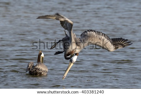 Brown pelican (Pelecanus occidentalis) hunting, Galveston, Texas, USA.