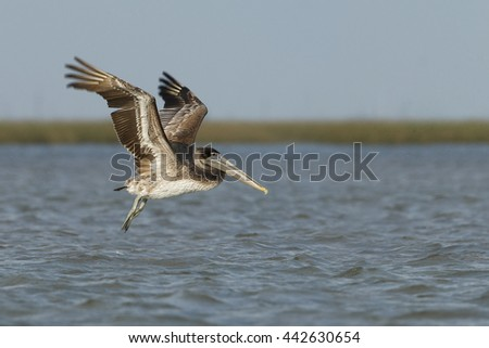 Brown pelican (Pelecanus occidentalis) immature flying above gulf of mexico, Bolivar peninsula, Texas, USA - stock photo