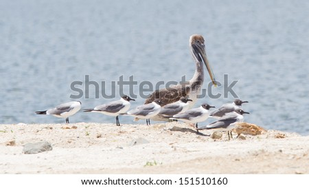 Brown pelican (Pelecanus occidentalis) sitting between Laughing Gulls (Leucophaeus atricilla), Caribbean - stock photo