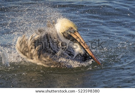 Brown pelican (Pelecanus occidentalis) taking evening bath in the ocean, Galveston, Texas, USA.